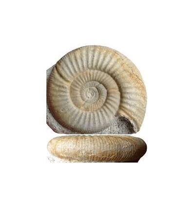 Ammonites Choffatia em pequeno expositor